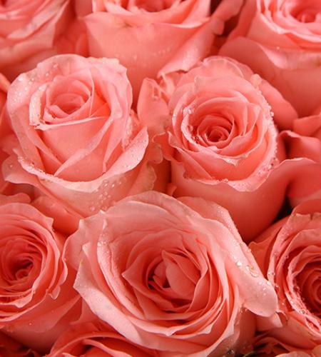 幸福久久-戴安娜粉玫瑰99枝,栀子叶适量