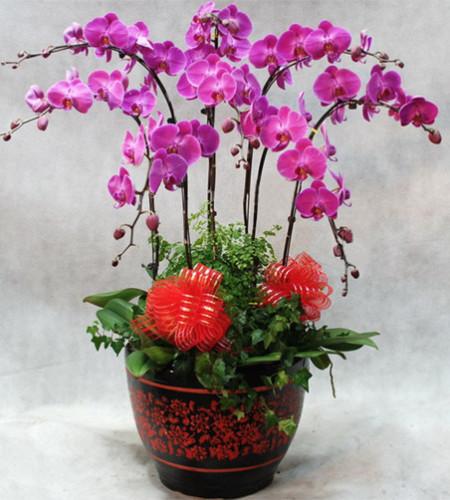 八枝紫色一品蝴蝶兰(红花黑底圆型花盆)