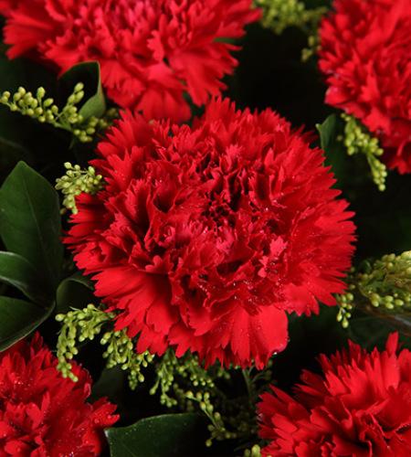 幸福花园-红色康乃馨11枝