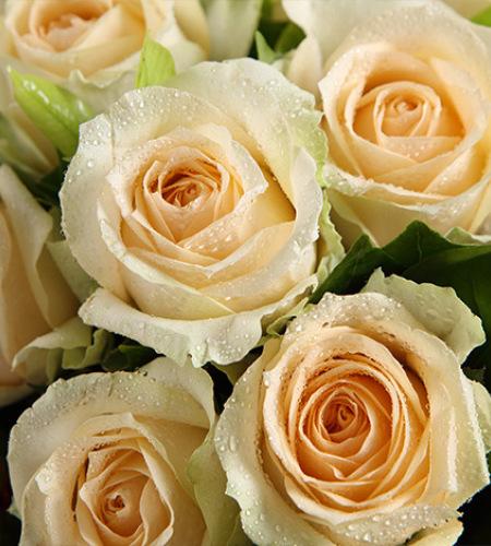 清风雅韵-香槟玫瑰12枝,迷你菊6枝