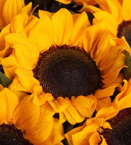 向日葵之歌-向日葵6枝