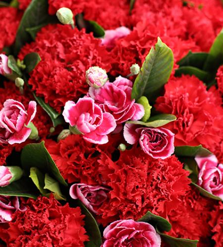 幸福万年长-红色康乃馨66枝,白边紫色多头康乃馨15枝,栀子叶2扎