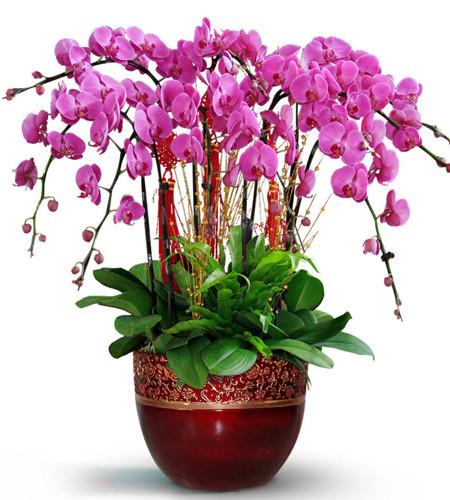 十二枝紫色一品蝴蝶兰(大红鎏金瓷盆)