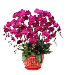 十二枝紫色一品蝴蝶兰(红底金色福字圆型花盆)