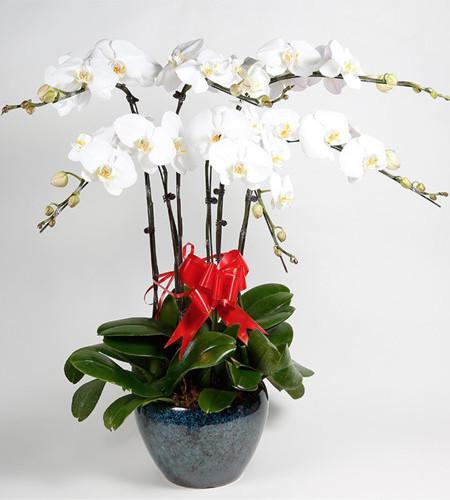 六枝白色黄心一品蝴蝶兰(孔雀蓝圆型花盆)